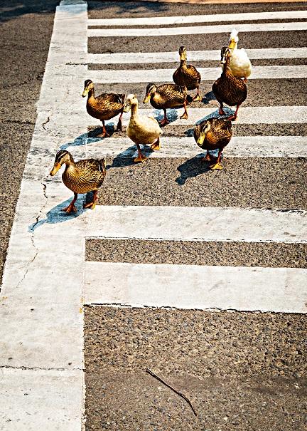 GLewis-Ducks_CrossWalk_Ashland_2_hi