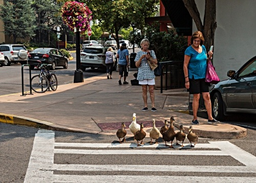 GLewis-Ducks_CrossWalk_Ashland_3_hi