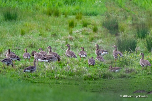 WHITE FRONTED GEESE @ BASKETT SLOUGH