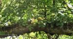 oak galls (2)