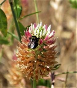 bee clovr (2)