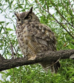 benson adult OWL