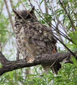 benson adult OWL2