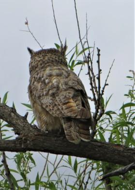 BENSON OWL3