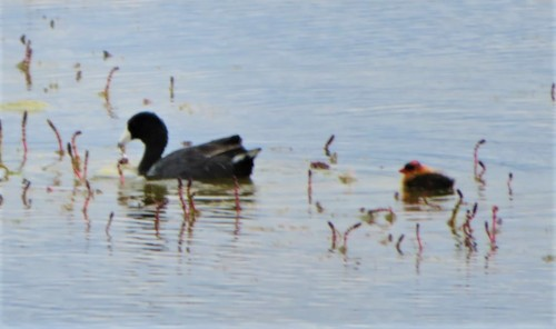 COOTLET3
