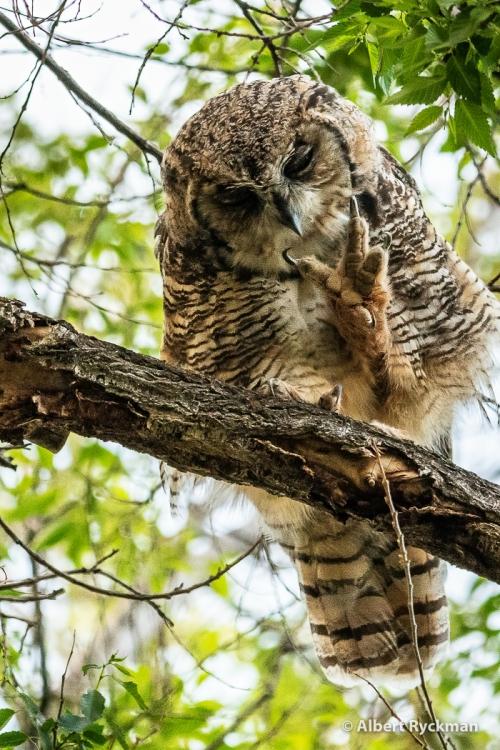 GREAT HORNEWD OWL (JUVENILE)
