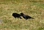 ccp-crow (2)