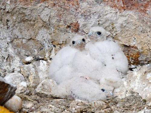 CT-9-PRFA-nestlings-1E