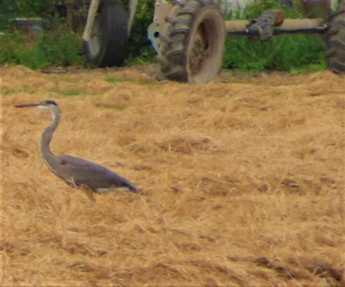 field heron (2)