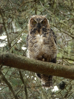 Great Horned Adult Mail 10e