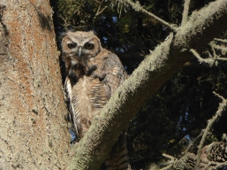 Great Horned Owl Juvenile e