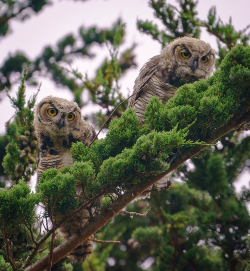 Great Horned Owl juveniles 2