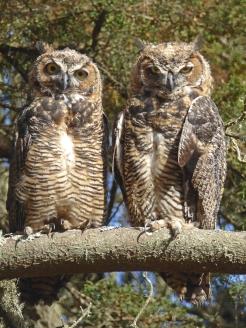 Owl twins 11e