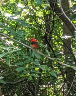 Scarlet tanager at 9MC, 7_15_20a