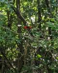 Scarlet tanager at 9MC,7_15_20b
