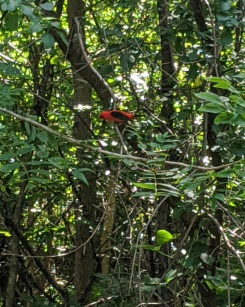 Scarlet tanager at 9MC, 7_15_20b