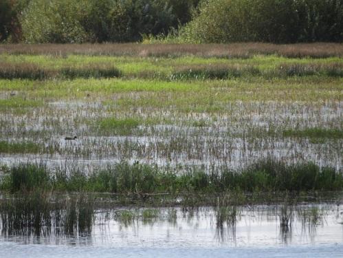 ank marsh