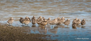 dowitchers sleeping _ Ankeny