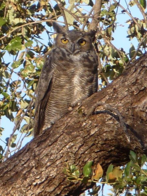 owl copy